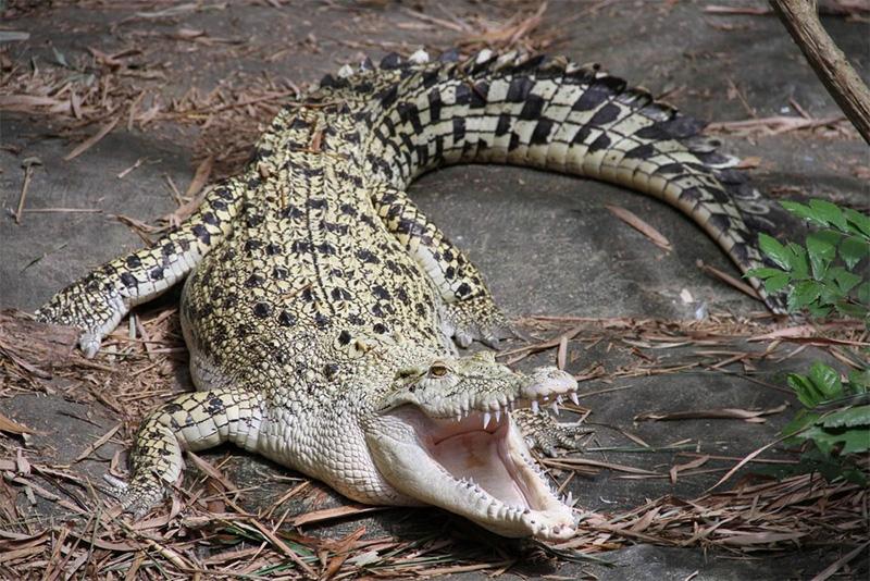 Cá sấu hoa cà